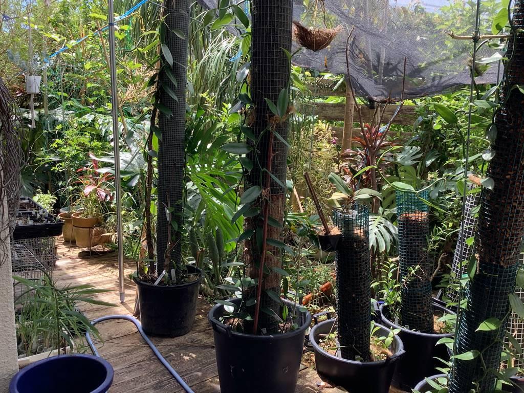 お庭でバニラ栽培